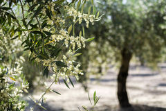 Olive tree in bloom during spring, Andalusia Royalty Free Stock Photo