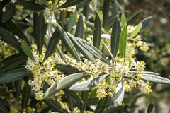 Olive tree in bloom during spring, Andalusia Royalty Free Stock Images