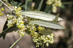 Olive tree in bloom during spring, Andalusia Royalty Free Stock Photography