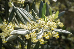 Olive tree in bloom during spring Stock Photography