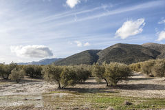 Olive tree in bloom during spring, Andalusia, Spain Stock Photography