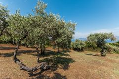 Greek olive trees Stock Image