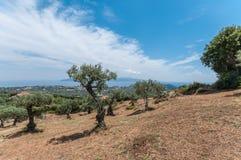 Greek olive trees Stock Photo