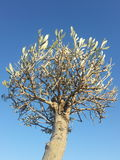 Olive tree. With blue sky background Royalty Free Stock Photos