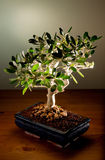 Olive tree bonsai. An olive tree bonsai on a wooden surface, with a fading light green background Royalty Free Stock Image