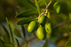 Olive tree branch. Detail of olive tree branch Royalty Free Stock Photos