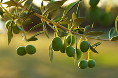 Olive tree branch. Detail of olive tree branch Stock Images