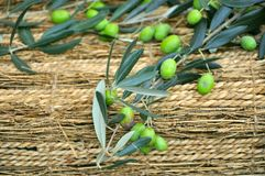 Olive tree branch. Used for making olive oil Stock Images