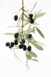 Olive tree branch Stock Photos