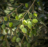 Olive tree branch. Fresh olive tree branch close up Royalty Free Stock Photo