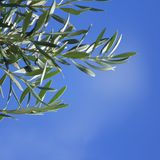 Olive Tree Branch  with blue sky background Royalty Free Stock Photo