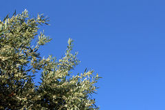 Olive tree branch on the blue sky background Stock Photo