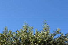 Olive tree branch on the blue sky background Royalty Free Stock Photo