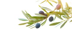 Olive branch border Stock Photo