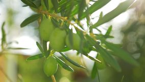 Olive tree branch in bright warm sun light. Close-up shot of tree branch with green olives in bright sun light stock video footage