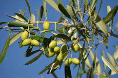 Olive tree branch Royalty Free Stock Images