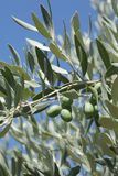 Olive tree branch. Close up of olives at tree branch, Mediterranean countries Royalty Free Stock Photos