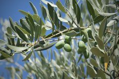 Olive tree branch. Close up of olives at tree branch, Mediterranean countries Royalty Free Stock Photography