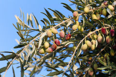 Olive tree branch. Royalty Free Stock Photo