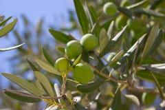 Olive tree branch Stock Photo