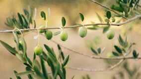 Olive Tree Branch With Green Olives
