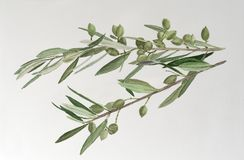 Olive tree branch with green olives royalty free stock photos