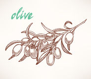 Olive tree branch. Hand-drawn sketch of olive tree branch stock illustration