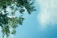 Olive tree branch and heaven Stock Photos