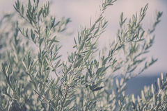 Olive tree branch Stock Images