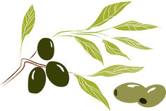 Olive tree branch with leaves and olives. Hand drawn  illustration of a branch with olives and leaves on a transparent background Royalty Free Stock Images