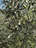 Olive tree branch with leaves and olives Stock Photography