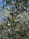 Olive tree branch with leaves and olives Stock Photo