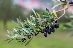 Olive Tree Branch med oliv royaltyfria bilder