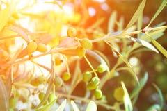 Olive Tree Branch nova com amadurecimento de frutos verdes Sun dourado Fl Fotos de Stock