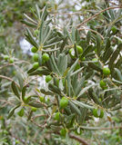 Olive Tree Branch with Olives Stock Photography