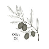 Olive tree branch with olives isolated sketch on white background Royalty Free Stock Photography