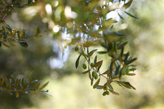 Olive tree branch, peace symbol, with ripe olives Royalty Free Stock Photos