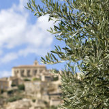Olive tree branch. Provence. Royalty Free Stock Photo