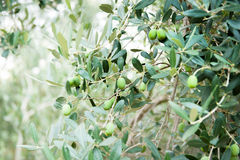 Olive tree branch with some fruits Stock Image
