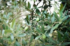 Olive tree branch with some fruits Royalty Free Stock Images
