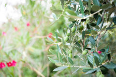 Olive tree branch with some fruits Stock Photography