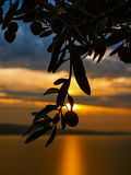 Olive tree branch sunset. Branches of olive trees at wonderful golden - orange sunset and reflection rays of the sun at Adriatic sea in Croatia-Dalmatia Royalty Free Stock Image