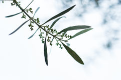 Olive tree. A branch of olive tree up to the cloudy sky, you can see also the baby fruits Stock Photography