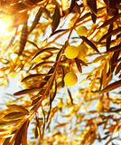 Olive tree branch at warm autumn sunset Royalty Free Stock Photos
