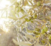 Olive tree branch. Royalty Free Stock Images