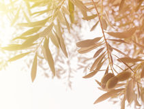 Olive tree branch. Stock Image