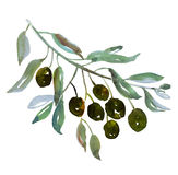 Olive tree branch on white background illustration. Royalty Free Stock Photography