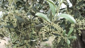 Olive tree branch, windy day. Wind moving olive tree branches stock footage