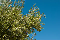 Olive tree branches Stock Images