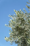 Olive tree branches. And blue sky, copy space Stock Images